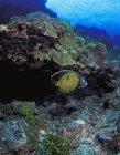 Bellissimo Angelfish nuotare sott'acqua vicino coralli, fauna selvatica — Foto stock