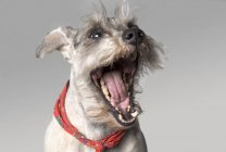 Yawning Dog with red scarf — Stock Photo