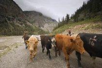 Cowboys Herding Cattle, Southern Alberta, Canada — Stock Photo