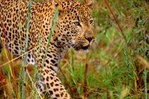 Чоловічий leopard, ходьба — стокове фото