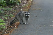 Raccoon sitting on ground — Stock Photo