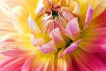 Centro de flor Dália — Fotografia de Stock