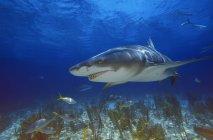 Лимонная акула плавательный — стоковое фото
