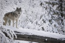 Вовк стоїть на журнал — стокове фото