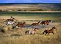 Ковбой, езда с стада — стоковое фото