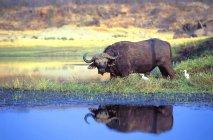 Африканский Кабо-Буффало — стоковое фото