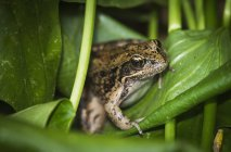 Лягушка окуней на wapato листья — стоковое фото