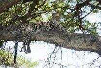 Leopardo disteso sull'albero — Foto stock