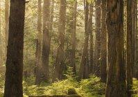 Flussi di luce solare attraverso la foresta pluviale — Foto stock