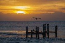 Sunrise over ocean with pelican in flight — Stock Photo