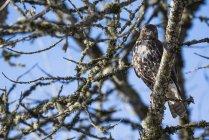 Junge rot - angebundener Falke — Stockfoto