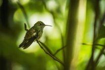 Rame-rumped colibrì — Foto stock