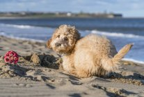 Cachorro joga na areia — Fotografia de Stock