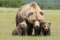 Brown bear and cubs — Stock Photo