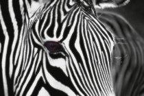 Zebra mit schwarzen und weißen Streifen — Stockfoto
