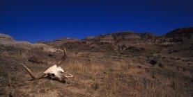 Teschio su arida collina — Foto stock
