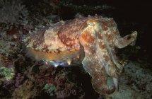 Pulpo sentado en el arrecife - foto de stock