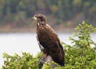 Águila calva en ramita - foto de stock