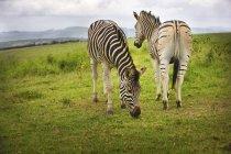 Zwei Zebras auf grüner Wiese — Stockfoto