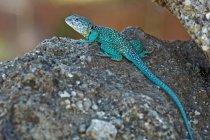 Male Collared Lizard — Stock Photo