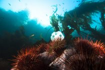 Ricci di mare gigante rosso — Foto stock