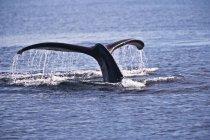 Buckelwal gehen Unterwasser — Stockfoto