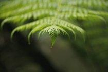 Крупным планом верхушки листьев папоротника — стоковое фото