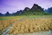 Campo de arroz con colinas - foto de stock