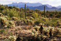 Organ Pipe Cactus National Monument — Stock Photo