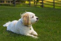 Белая собака лежит на траве — стоковое фото