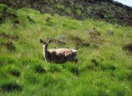 Red Deer standing on field — Stock Photo