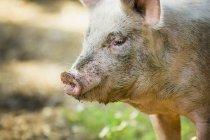 Брудні свині стоячи на відкритому повітрі — стокове фото