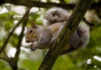Esquilo cinzento na filial — Fotografia de Stock