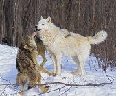 «Loups gris» sur la neige j'ai — Photo de stock