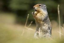 Écureuil terrestre de Columbia — Photo de stock