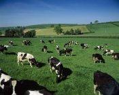 Gado de leite pela — Fotografia de Stock
