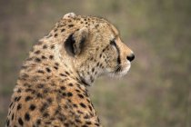 Gepard wegschauen — Stockfoto