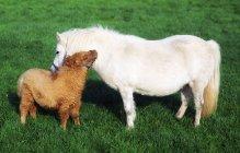Shetland Pony And Foal — Stock Photo