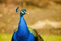 Indian Blue Peacock — Stock Photo