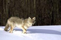 Coyote en invierno contra los árboles - foto de stock