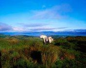 Cavalos selvagens pastando no campo — Fotografia de Stock