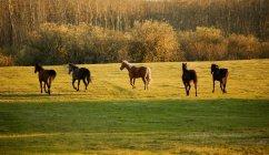 Pferde gehen zusammen — Stockfoto