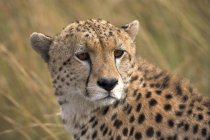 Гепард, глядя назад — стоковое фото