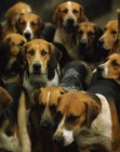 Pack of Foxhounds looking at camera — Stock Photo