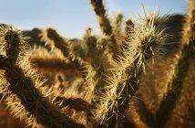 Cactus plants Needles — Stock Photo