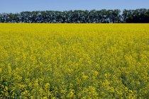 Fiori gialli con alberi — Foto stock