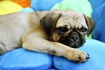 Deitado sobre almofadas de Pug — Fotografia de Stock