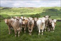 Молочного скота стоя на траве — стоковое фото