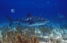 Тигровая акула плавательный — стоковое фото