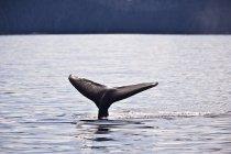 Megattere balena andando sotto l'acqua — Foto stock